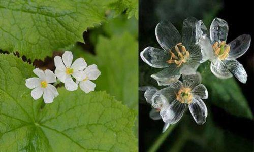 Lo skeleton flower: il fiore trasparente quando piove.